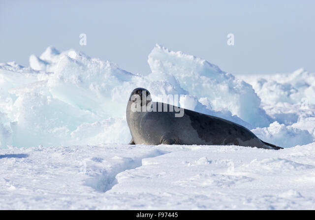 Harp seal (Pagophilus groenlandicus), female, on sea ice, Gulf of St. Lawrence, near Îles de la Madeleine (Magdalen - Stock Image