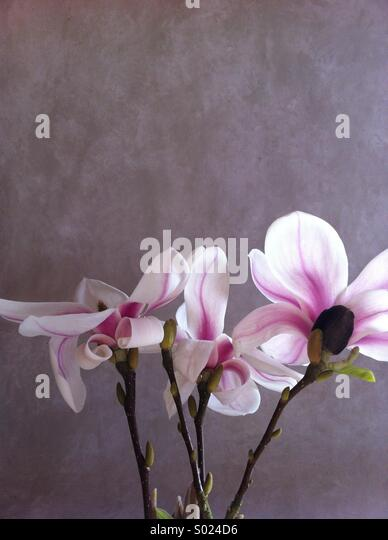 Magnolia blooms against painted backdrop in natural light - Stock Image