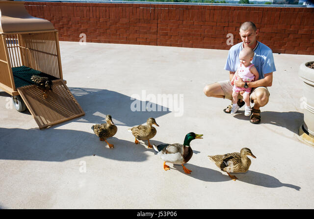 Little Rock Arkansas The Peabody Little Rock hotel Duck March man father girl toddler parent child mallard waddle - Stock Image