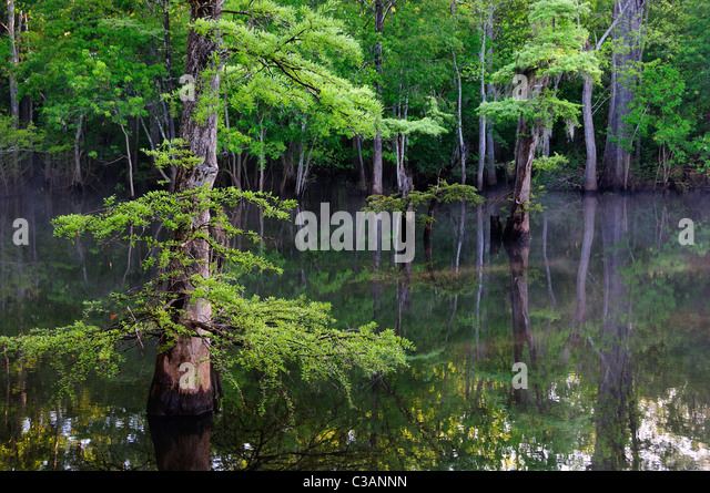 Bald cypress, Taxodium distichum, Morrison Springs, Walton County, Florida - Stock Image