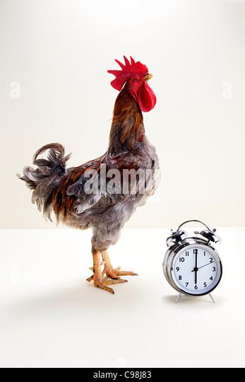 Rooster standing near alarm clock, studio shot - Stock Image