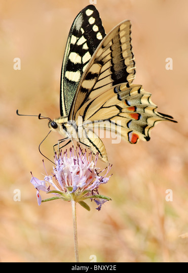 Southern Swallowtail butterfly - Stock Image