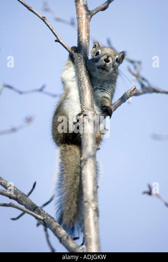 Red Squirrel perched in Alder Tree Homer Alaska Kenai Peninsula Winter - Stock Image