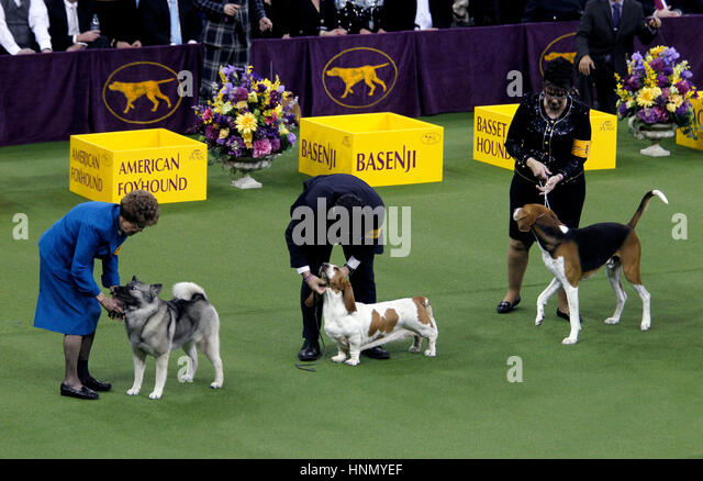 New York, United States. 13th Feb, 2017. Owners tend to their dogs during competition in the Hound Division at the - Stock Image