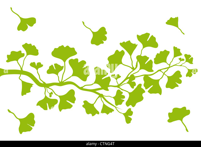ginkgo tree branch with green leaves, vector background - Stock Image
