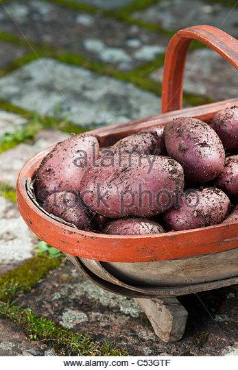 freshly harvested dug Highland Burgundy Red potatoes trug vegetable summer June new main crop kitchen garden plant - Stock Image