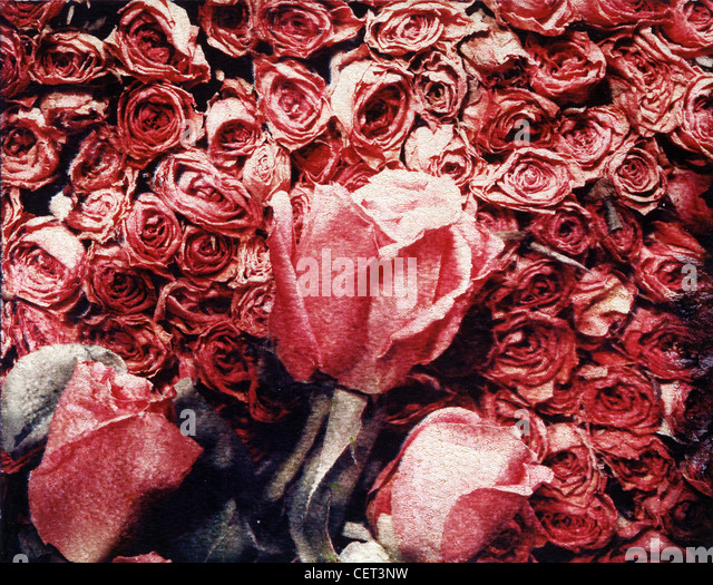 Flowers, Roses, red, dried in horizontal photograph using the Polaroid Image Transfer technique.  Muted colors - Stock Image