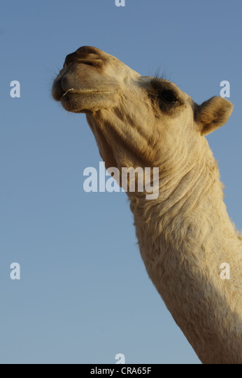View of camel's head and neck with a blue sky background. Taken in the Red Sands desert, Riyadh, Kingdom of - Stock Image