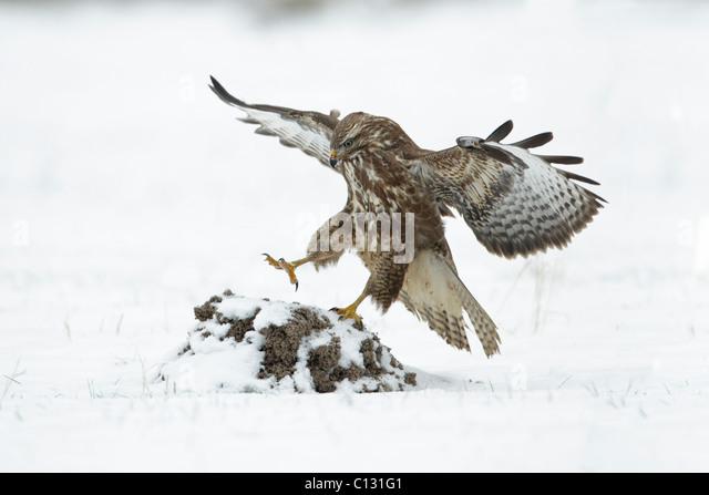 Common Buzzard (Buteo buteo), in flight landing on snow covered mole hill - Stock Image