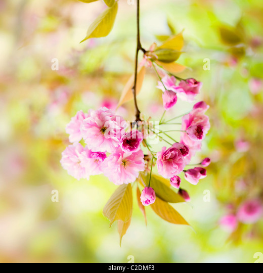 Cherry blossom flowers of Prunus Kanzan AGM - Stock Image