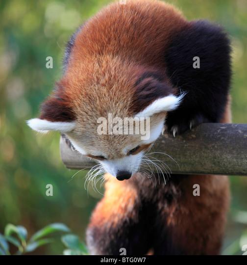 Red panda, ailurus fulgens, - Stock Image
