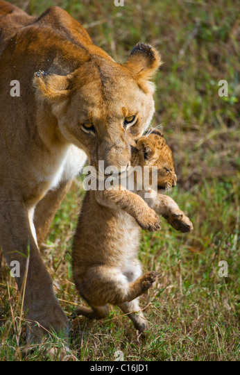 Lion (Panthera leo), lioness carrying cub in mouth, Masia Mara, national park, Kenya, East Africa - Stock Image