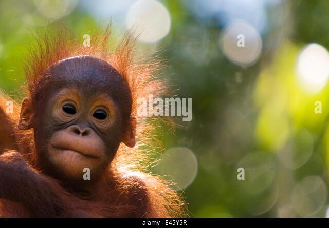 Orang utan baby (Pongo pygmaeus) head portrait of baby, Semengoh Nature reserve, Sarawak, Borneo, Malaysia. Endangered. - Stock Image
