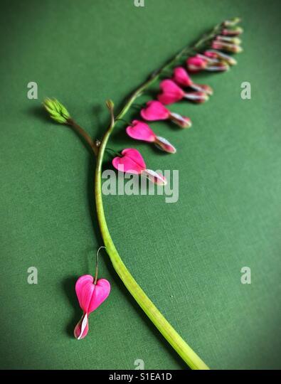 A stem of bleeding heart flowers. - Stock Image