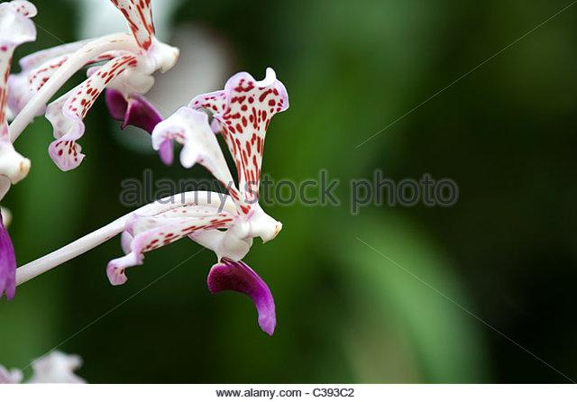 Vanda triclour var. suavis The Soft Vanda orchid - Stock Image