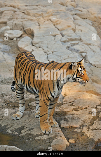 Tiger (Panthera tigris) at a rocky water hole in Ranthambore National Park, Rajasthan, India, Asia - Stock Image