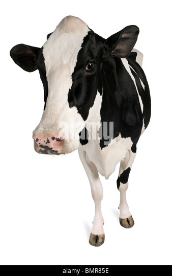 Holstein cow, 5 years old, standing against white background - Stock Image
