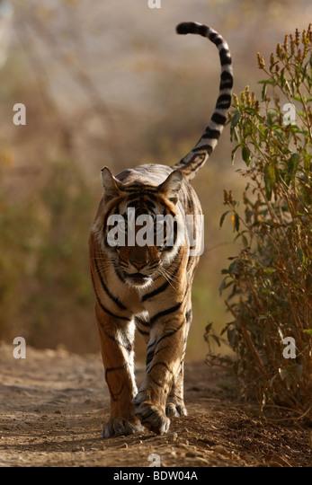 indischer tiger, koenigstiger, panthera tigris tigris, indien, asien, royal bengal tiger, india, asia - Stock-Bilder