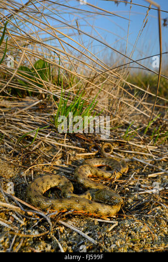 dice snake (Natrix tessellata), water snake at a slope, Romania, Dobrudscha, Biosphaerenreservat Donaudelta, Sf�ntu - Stock Image