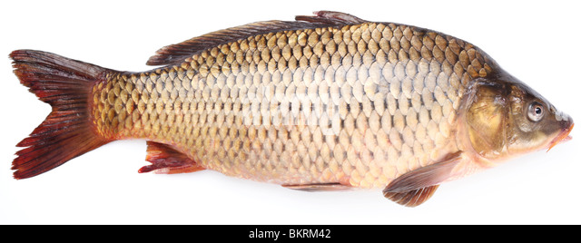 Fresh fish carp on a white background - Stock Image