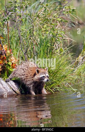 Raccoon (Procyon lotor) washing food in water. - Stock Image