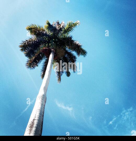 Coconut tree - Stock Image