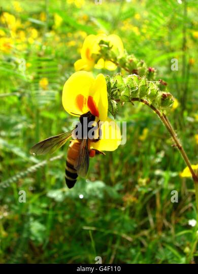 Honeybee - Stock Image