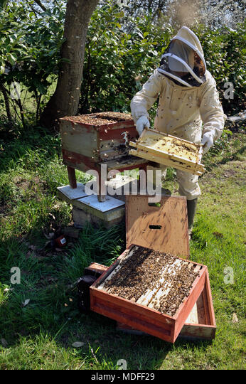 beekeeper inspecting frames of bees in national hive - Stock Image