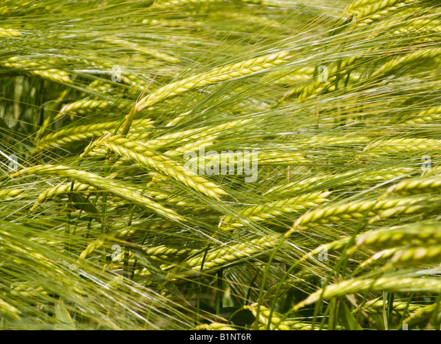 Barley crop close up UK - Stock Image