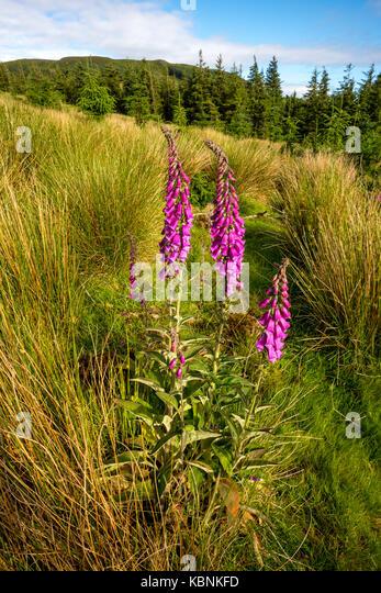 Wild flower in Ireland - Stock Image