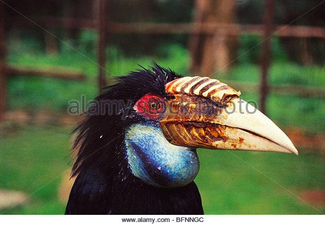 PSL 60176 : Birds ; wreathed hornbill aceros undulatus - Stock Image