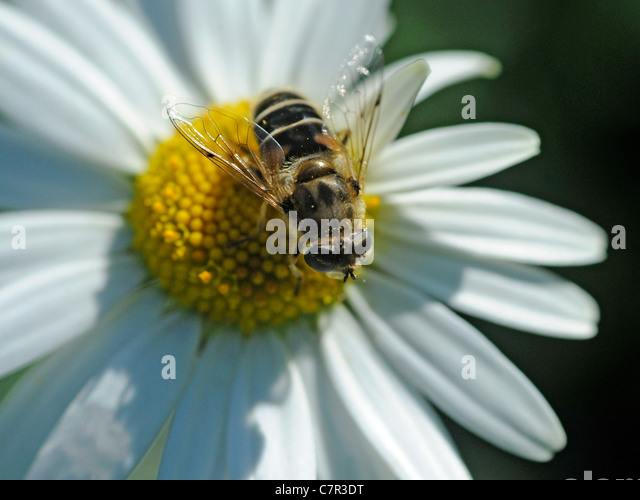 A hover fly sitting on a flower - Stock Image