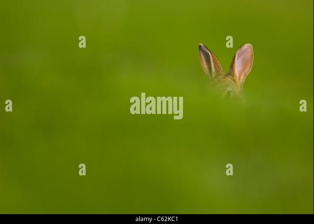 RABBIT Oryctolagus cuniculus  An alert youngsters' ears poke out above a grass bank Norfolk, UK - Stock-Bilder