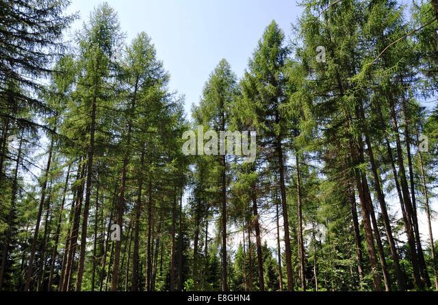 Italy, Balsegna di Pina, Pine tree forest - Stock-Bilder