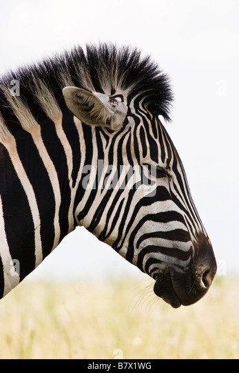 Zebra Game Park South Africa - Stock Image