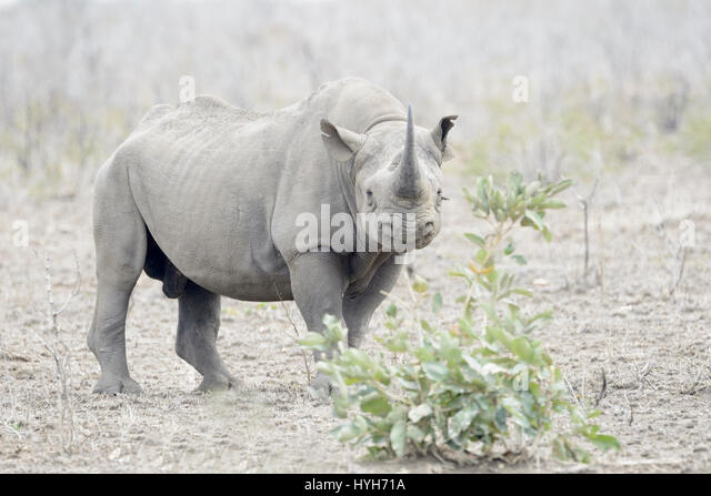 Black Rhinoceros (Diceros bicornis) standing on savannah, looking at camera, Kruger National Park, South Africa - Stock Image