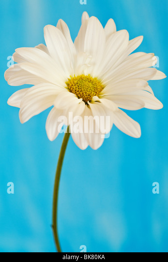 white and yellow daisy on a handpainted watercolor background - Stock-Bilder