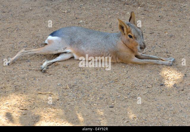 Mara Cavy lying in sun - Stock Image