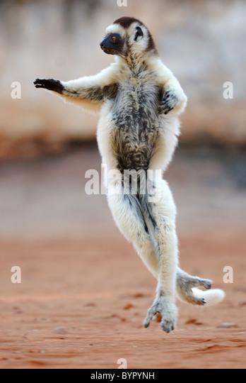 Verreaux's Sifaka (Propithecus verreauxi) dancing in Madagascar - Stock-Bilder