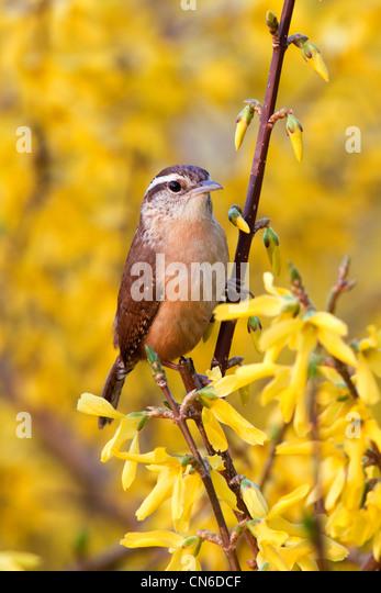 Carolian Wren in Forsythia Bush Flowers - Stock-Bilder