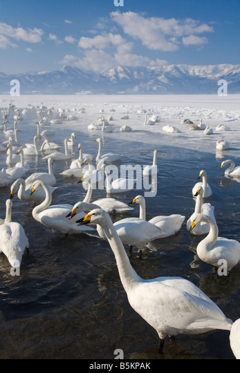 Hokkaido Japan Herd of Whooper Swans Cygnus cygnus gathered in open water on frozen Lake Kussharo Akan National - Stock Image