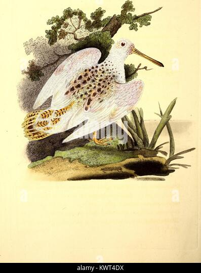 Color engraving of the woodcock bird (Scolopax Rusticola) in its natural habitat, from The Natural History of British - Stock Image