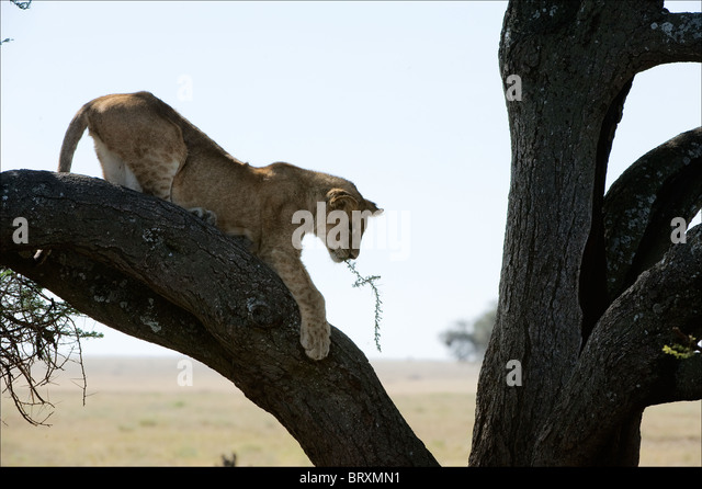 Young lion on a tree. - Stock Image
