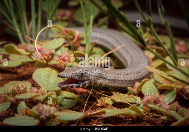 Burton's Snake-lizard (Lialis burtonis) - Stock Image