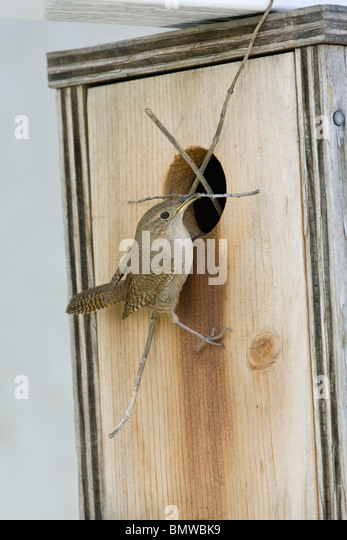 Bewick's Wren perched at nestbox with nest material - vertical - Stock Image
