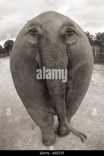 Digitally manipulated elephant with eyes on his butt. - Stock Image