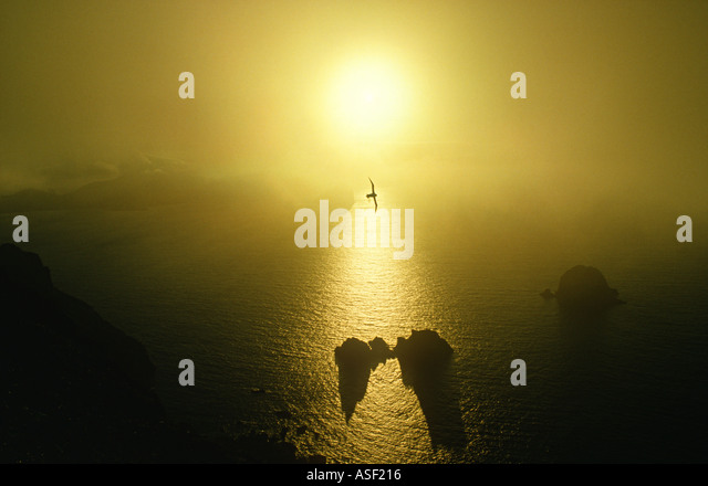 Light mantled sooty albatross Phoebetria palpebrata soaring silhouetted against evening sun Mist Campbell Island - Stock Image