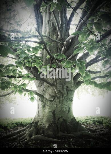 Ancient beech tree - Stock-Bilder