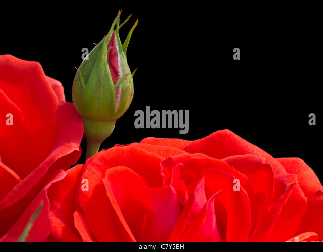 Red Rose Bud on Black Background - Stock Image