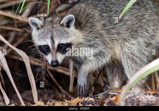 Raccoon - Green Cay Wetlands, Boynton Beach, Florida USA - Stock Image
